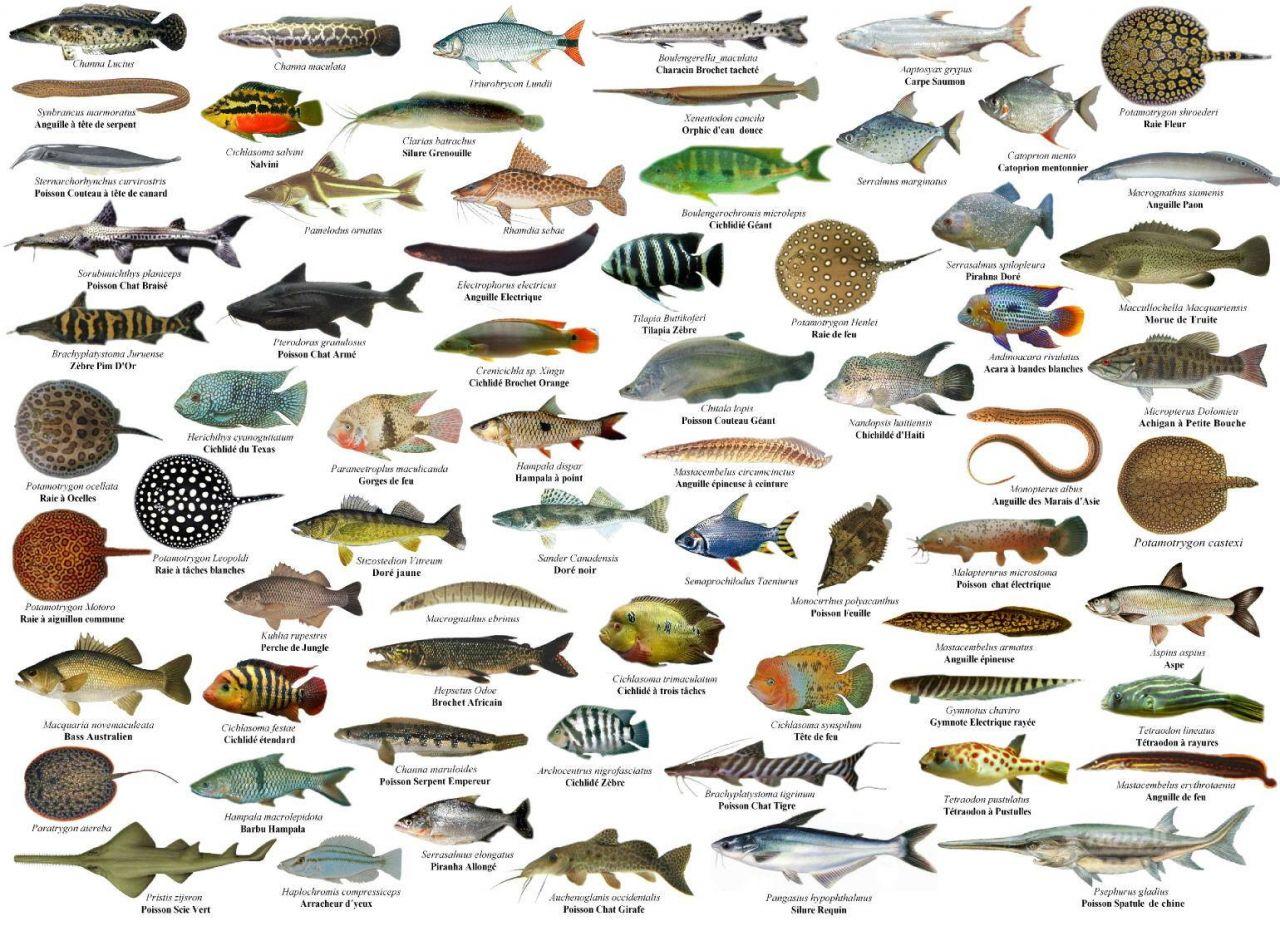 Suficiente Galeria de Peixes de Água Doce - Aquariofilia.net BZ76