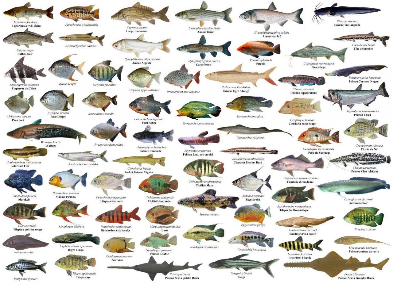 Suficiente Galeria de Peixes de Água Doce - Aquariofilia.net AH78