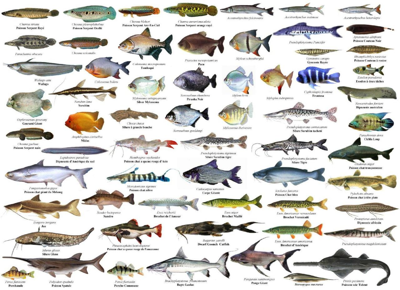 Populares Galeria de Peixes de Água Doce - Aquariofilia.net AO74