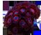 Zoanthus sp. vermelho e azul.png
