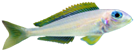 Xenotilapia flavipinnis kasanga F1.png
