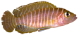 Neolamprolugos similis.png
