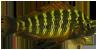 Tropheus Golden Kazumba.png