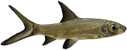 Balantiocheilus melanopterus.png