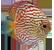 Symphysodon spp 'Discu'50px.png
