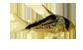 Corydora loxozonus.png
