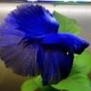 BlueBetta