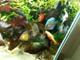 Platy comendo plantas - last post by epaniago