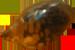 Physa fontinalis