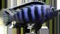 Pseudotropeus saulosi