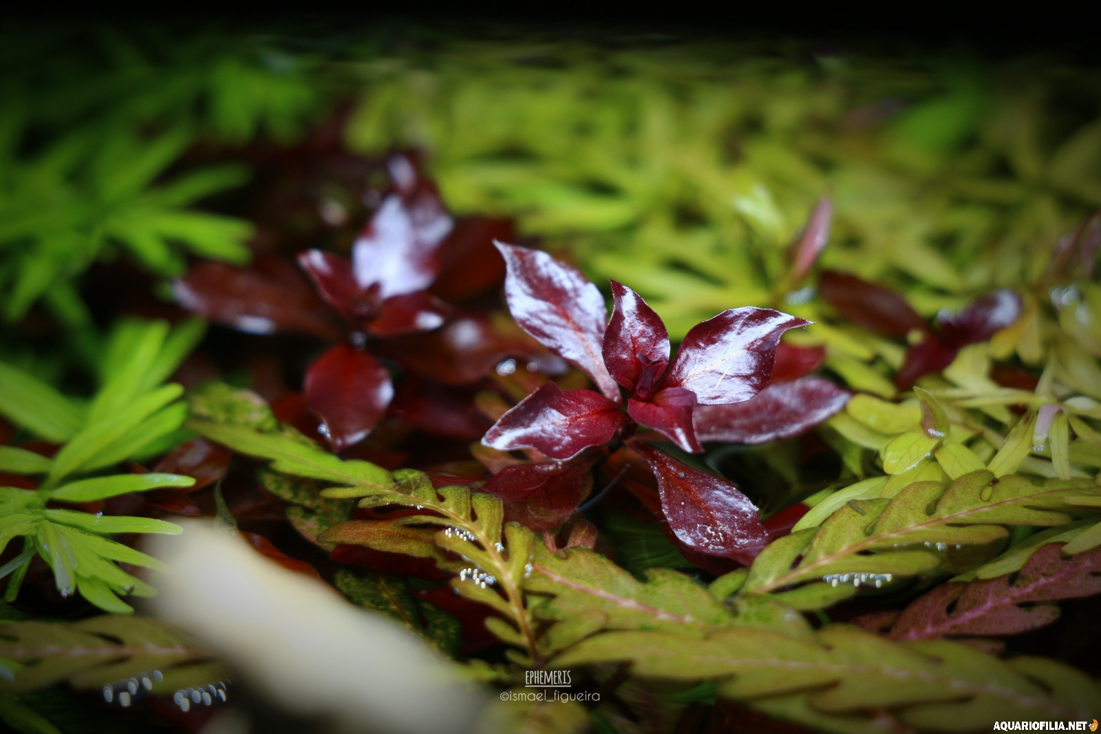 large.Ludwigia_sp_Mini_Super_Red.png