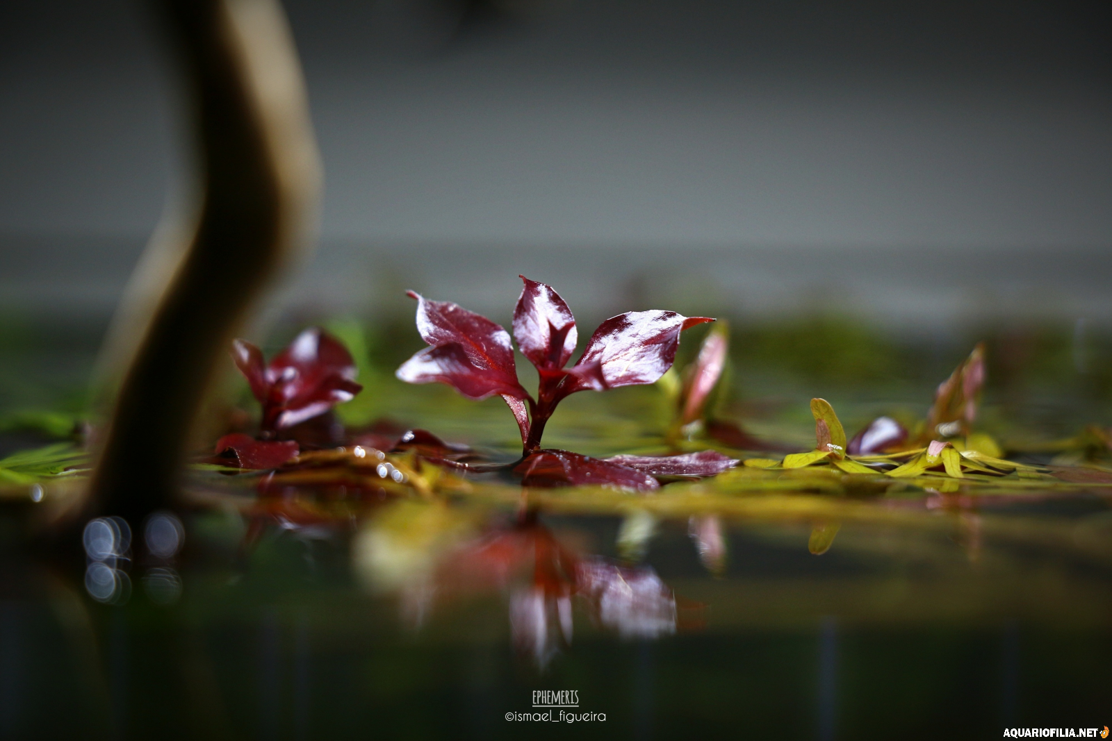large.Ludwigia_sp_Mini_Super_Red_2.png