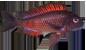 Tropheus red moliro.png