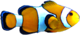 Amphiprion ocellaris.png