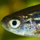 Francisco Zebrafish